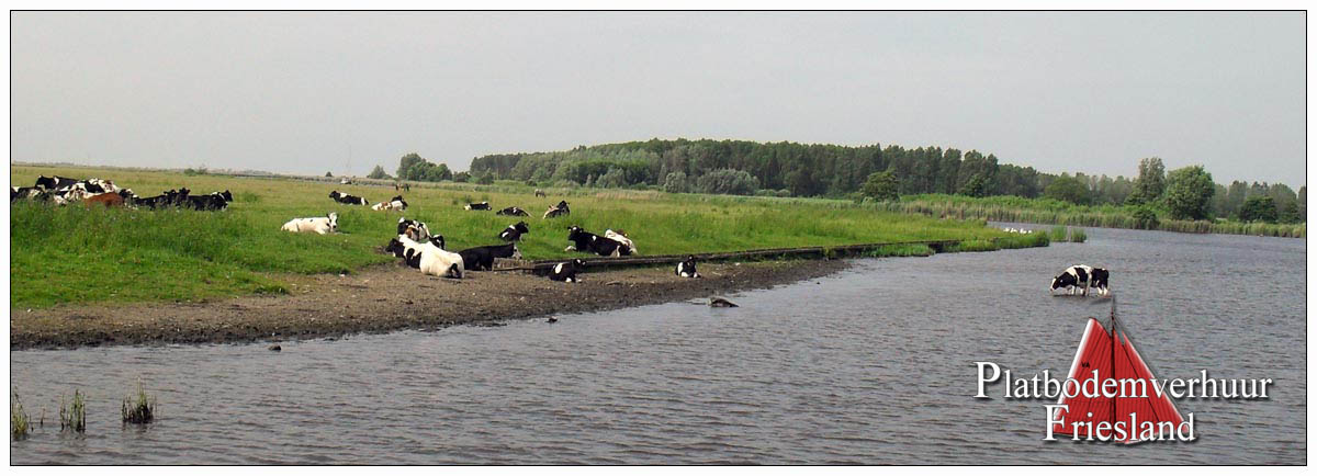 Cows at  Lauwersmeer